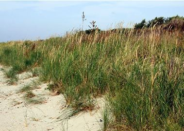 Marram Grass Transplanting at Carrickfinn Beach